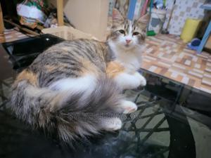 1-3 month Female Purebred Turkish Van   Cats & Kittens for sale in Nairobi, Zimmerman