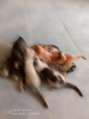 1-3 month Female Mixed Breed Cat | Cats & Kittens for sale in Kiambu, Ruiru