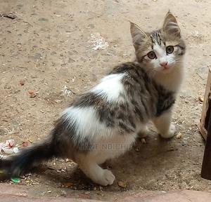 1-3 Month Male Mixed Breed American Bobtail   Cats & Kittens for sale in Nairobi, Kasarani