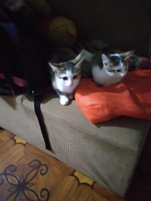 1-3 Month Male Mixed Breed American Shorthair   Cats & Kittens for sale in Nairobi, Kasarani