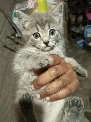 1-3 Month Female Mixed Breed Cat | Cats & Kittens for sale in Kajiado, Ongata Rongai