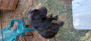 6-12 Month Male Purebred Cane Corso   Dogs & Puppies for sale in Nairobi, Parklands/Highridge