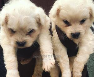 1-3 Month Male Purebred Chihuahua | Dogs & Puppies for sale in Nairobi, Westlands