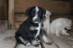 1-3 Month Female Mixed Breed Japanese Spitz | Dogs & Puppies for sale in Kiambu, Thika