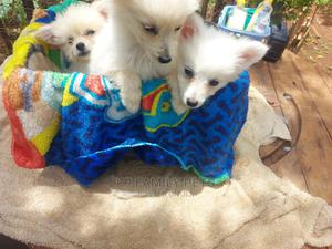 1-3 Month Female Mixed Breed Maltese | Dogs & Puppies for sale in Uasin Gishu, Eldoret CBD