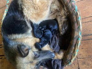 0-1 Month Female Mixed Breed German Shepherd | Dogs & Puppies for sale in Nairobi, Ngara