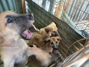1-3 Month Female Mixed Breed German Shepherd   Dogs & Puppies for sale in Kilifi, Kilifi North