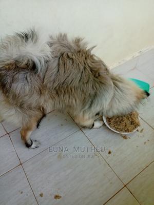 6-12 Month Male Purebred Chihuahua | Dogs & Puppies for sale in Kiambu, Thika