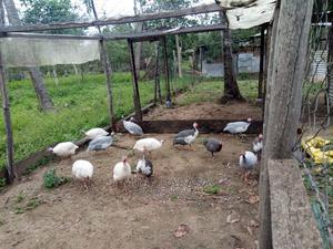 Guineafowl   Birds for sale in Kwale, Ukunda