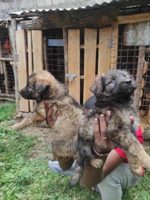 1-3 Month Female Purebred German Shepherd   Dogs & Puppies for sale in Kajiado, Ongata Rongai
