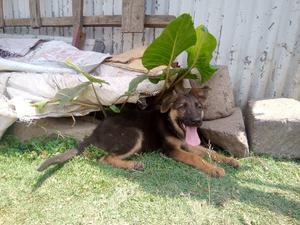 3-6 Month Female Purebred German Shepherd   Dogs & Puppies for sale in Kajiado, Ongata Rongai
