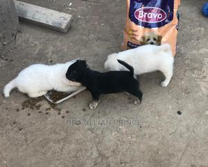 1-3 month Male Purebred Jack Russell Terrier   Dogs & Puppies for sale in Kilifi, Malindi