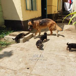 1-3 Month Female Purebred German Shepherd   Dogs & Puppies for sale in Kisumu, Kisumu Central