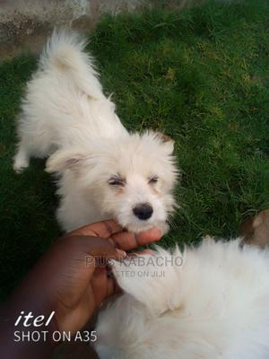 1-3 Month Female Mixed Breed Maltese | Dogs & Puppies for sale in Kiambu, Juja