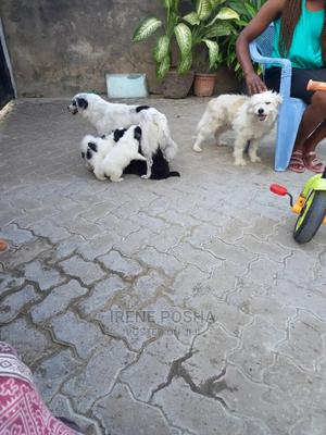 1-3 Month Female Mixed Breed Pomeranian | Dogs & Puppies for sale in Mombasa, Bamburi