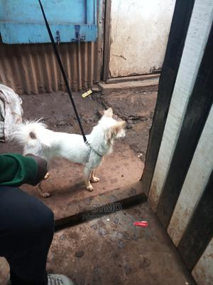 6-12 Month Female Purebred Japanese Spitz   Dogs & Puppies for sale in Nairobi, Kangemi