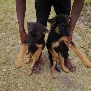 1-3 Month Female Purebred German Shepherd   Dogs & Puppies for sale in Nairobi, Umoja