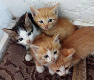 1-3 Month Male Mixed Breed Cat   Cats & Kittens for sale in Nakuru, Nakuru Town East