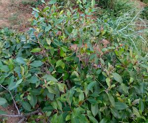 1 Acre Land, Planted With Miraa and Ready Title Deed | Land & Plots For Sale for sale in Embu, Mavuria