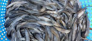 Ready Catfish for Consumption Available | Fish for sale in Nyeri, Nyeri Town