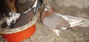 Matured Short Beak   Birds for sale in Mombasa, Likoni