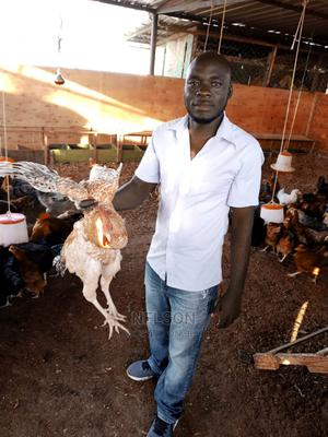 Cock for Sale   Livestock & Poultry for sale in Mombasa, Jomvu