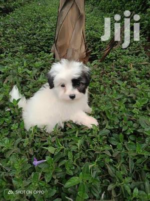 Baby Male Purebred Airedale Terrier   Dogs & Puppies for sale in Nairobi, Nairobi Central