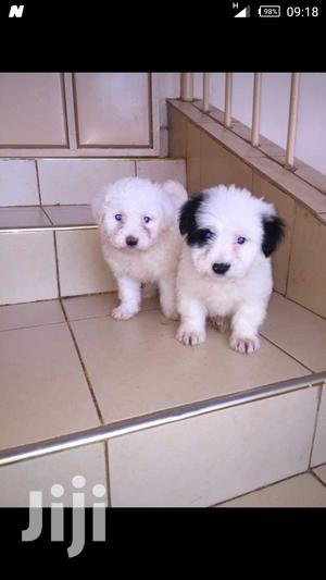 Baby Male Purebred Japanese Spitz   Dogs & Puppies for sale in Nairobi, Nairobi Central