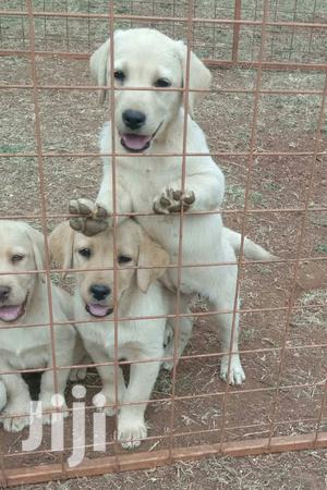 Baby Female Purebred Labrador Retriever | Dogs & Puppies for sale in Nairobi, Nairobi West