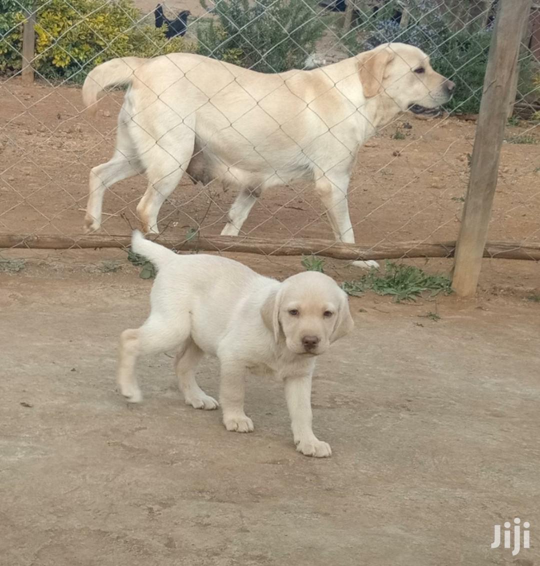 Baby Female Purebred Labrador Retriever | Dogs & Puppies for sale in Nairobi West, Nairobi, Kenya