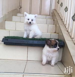 Baby Male Purebred Chihuahua | Dogs & Puppies for sale in Kisumu, Kisumu Central