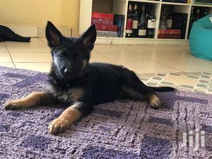 Baby Male Purebred German Shepherd Dog | Dogs & Puppies for sale in Nairobi, Nairobi West
