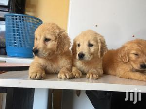 Baby Male Purebred Golden Retriever | Dogs & Puppies for sale in Nairobi, Parklands/Highridge
