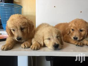 Baby Male Purebred Golden Retriever | Dogs & Puppies for sale in Nairobi, Nairobi Central