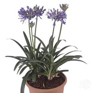 Potted Flower Of Love-agapanthus   Garden for sale in Kajiado, Ngong
