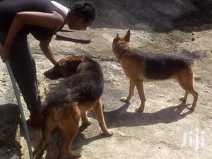 1+ Year Male Purebred German Shepherd   Dogs & Puppies for sale in Kiambu, Kiambu / Kiambu