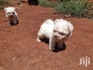 Baby Male Purebred | Dogs & Puppies for sale in Nairobi, Eastleigh