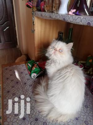 Senior Male Purebred Persian   Cats & Kittens for sale in Nairobi, Nairobi Central