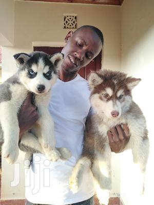 Baby Female Purebred Siberian Husky | Dogs & Puppies for sale in Nairobi, Kahawa