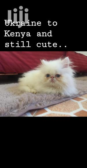 Baby Male Purebred Persian   Cats & Kittens for sale in Nairobi, Lavington