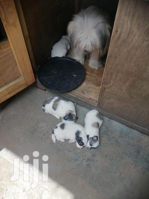 0-1 Month Female Mixed Breed Japanese Spitz | Dogs & Puppies for sale in Nairobi, Nairobi South