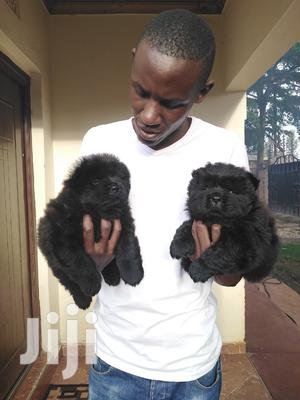 Baby Male Purebred Chow Chow | Dogs & Puppies for sale in Nairobi, Kahawa