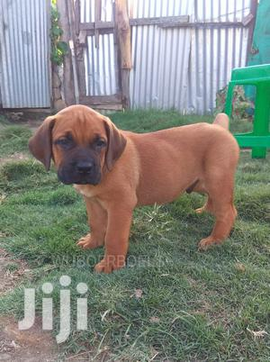 Baby Male Purebred Boerboel | Dogs & Puppies for sale in Nairobi, Nairobi Central