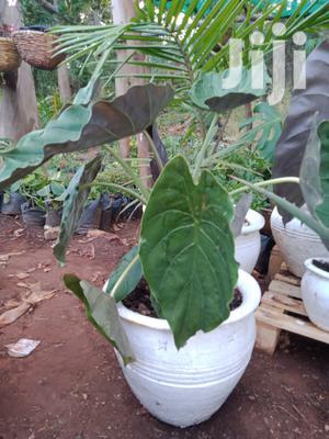 Potted Flowers   Garden for sale in Nairobi, Parklands/Highridge