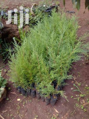 Potted Ornamental Trees and Flowers   Feeds, Supplements & Seeds for sale in Embu, Kirimari