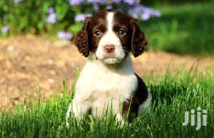 Baby Male Purebred English Springer Spaniel | Dogs & Puppies for sale in Nairobi, Nairobi Central