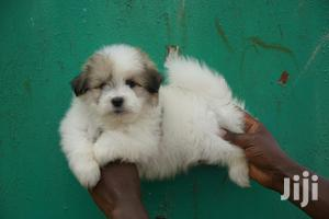Young Female Purebred Chihuahua | Dogs & Puppies for sale in Nairobi, Westlands