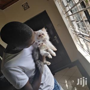 Young Male Purebred Persian   Cats & Kittens for sale in Nairobi, Kahawa