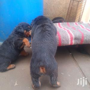 1-3 Month Male Purebred Rottweiler   Dogs & Puppies for sale in Nairobi, Nairobi Central