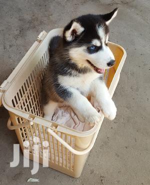 Baby Male Purebred Siberian Husky | Dogs & Puppies for sale in Nairobi, Kahawa